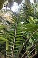 Encephalartos altensteinii 3zz.jpg