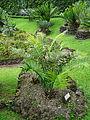 Encephalartos villosus furnas 2015.jpg