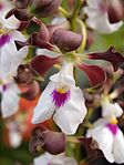 Encyclia cordigera. - Flickr 003.jpg