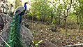 """Endless colors with endless efforts """"Indian Peafowl"""".jpg"""