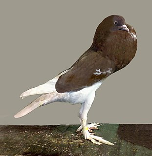 English Pouter pigeon breed