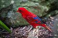 Eos bornea -Taronga Zoo, Sydney, Australia-8a (3).jpg