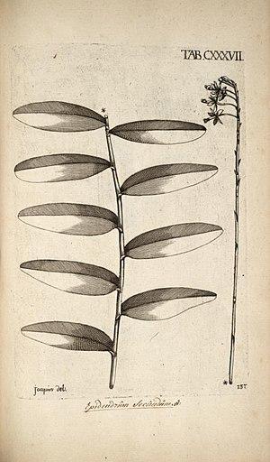 Epidendrum secundum - Illustration of Epidendrum secundum showing a secund inflorescence, from: Nikolaus Joseph, Freiherr von Jacquin (!793): Selectarum stirpium Americanarum historia