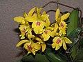Epilaeliocattleya Don Herman -香港沙田國蘭展 Shatin Orchid Show, Hong Kong- (9213295595).jpg