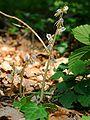 Epipogium aphyllum Luxembourg 060.jpg