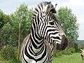 Equus quagga 2 (Piotr Kuczynski).jpg