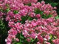Ericales - Phlox paniculata 2.jpg