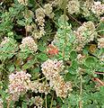 Eriogonum parvifolium 2.jpg