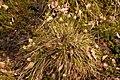 Eriophorum.vaginatum.jpg