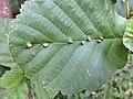 Eriophyes inangulis (Eriophyidae) - (gall), Elst (Gld), the Netherlands - 2.jpg