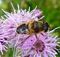 Eristalis pertinax. Female - Flickr - gailhampshire.jpg