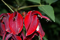 Erythrina crista-galli.jpg