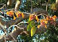 Erythrina fusca, the Elequeme tree. (9551573274).jpg