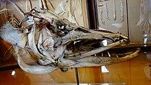 barracuda poisson
