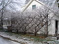 Espalier belgianfence icestorm 121208.jpg