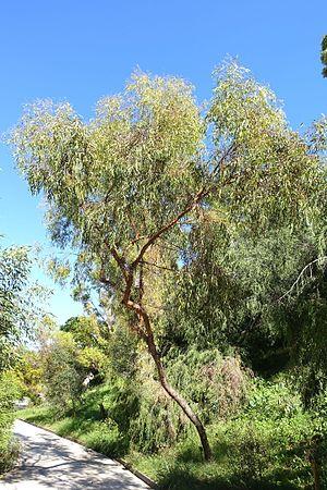 Eucalyptus loxophleba - Eucalyptus loxophleba at Jardín Botánico de Barcelona
