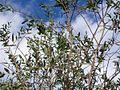 Eucalyptus parvula Batemans Bay.jpg