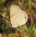 Euchrysops cnejus – Gram Blue 02.jpg