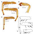 Eucteniza huasteca male holotype.jpg