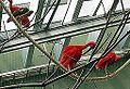 Eudocimus ruber-20.jpg