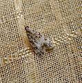 Eudonia sp. ( E. delunella^) - Flickr - gailhampshire.jpg