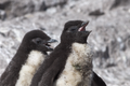 Eudyptes chrysocome-PingüinoPenachoAmarillo.png