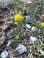 Euphorbia cyparissias IMG 0174 priboj.JPG