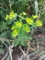 Euphorbia platyphyllos sl26.jpg