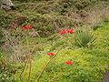 Euphorbia pulcherrima (Barlovento) 09.jpg