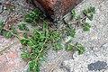 Euphorbia supina.JPG