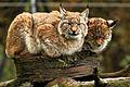 European Lynx - Whipsnade Zoo (10774402114).jpg