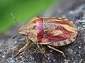 Eurygaster testudinaria 134460476.jpg