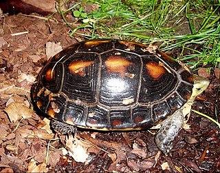 Chinese box turtle