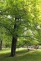 Evropska bukva, Fagus syilvatica L 02.jpg