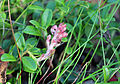 Exobasidium vaccinii - Puolukanpöhösieni, Lingonsvulst, Cowberry Redleaf IMG 7754 C.JPG