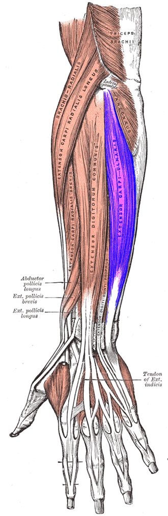 Extensor carpi ulnaris muscle - Posterior surface of the forearm. Extensor carpi ulnaris labeled in purple at center right.