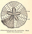 FMIB 52643 Echinorachnius parma, the sand-dollar.jpeg