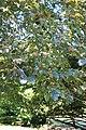 Fagus sylvatica 'Purpurea' 3659.jpg