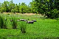 Famille de phacochère dans le parc national de la Pendjari.jpg