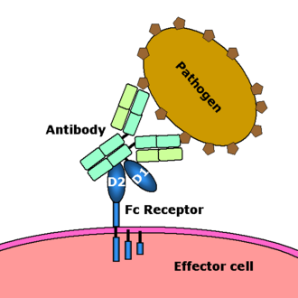 Immunity (medical) - Scheme of a Fc receptor