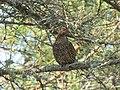 Female Spruce Grouse (19529051080).jpg
