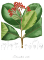 Ferdinandusa elliptica Pohl107.png