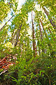 Fern and Redwood Forest (9322340710).jpg