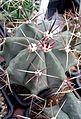 Ferocactus californicus 2e.jpg