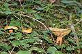 Fichten-Reizker (Lactarius deterrimus).jpg
