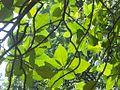 Ficus Leaves in the Sun (5751197862).jpg