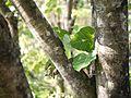 Ficus arnottiana (16097378850).jpg