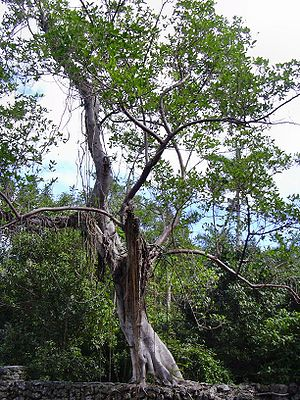 Ficus aurea - Florida strangler fig in Deering Park, Florida