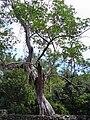 Ficus aurea03.jpg