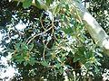 Ficus thonningii, twyge, loof en vrugte, a, Pretoria.jpg